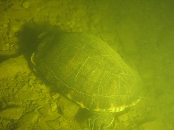 Une tortue dans le lac d'Esch